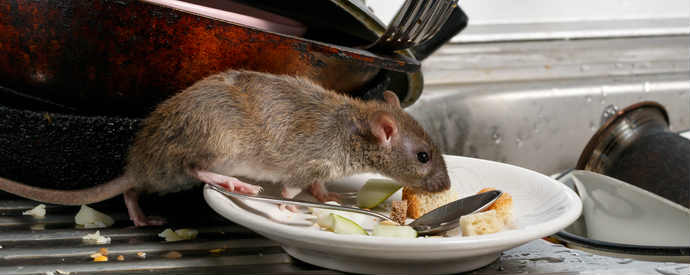 Health Risks Of Rat Infestations