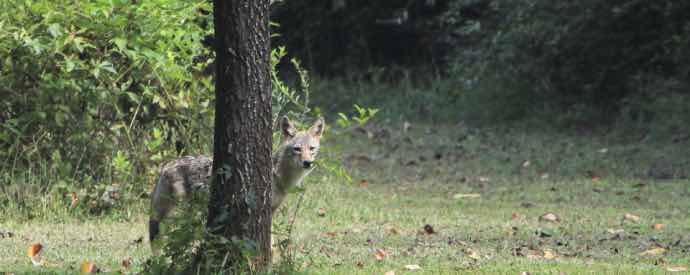 Wild Animal Lurking Near Business
