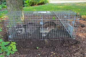 Why You Shouldn't Remove Wildlife Yourself