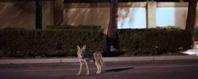 Coyote In A Neighborhood