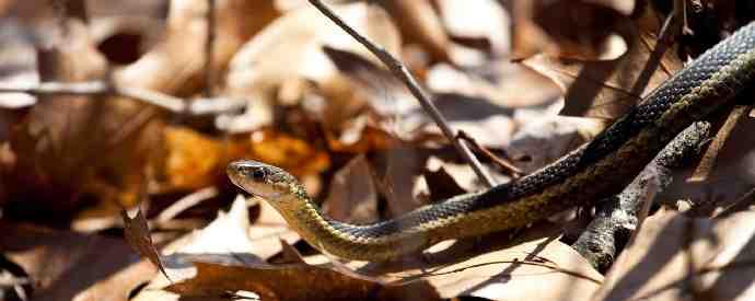 Snake In Fall Leaves
