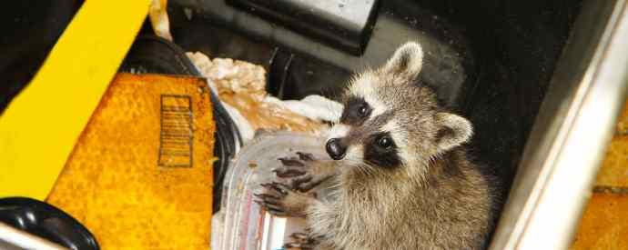Raccoon In Trash Can