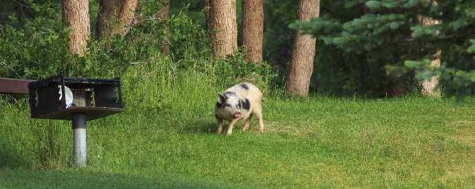 Feral Hog On Property